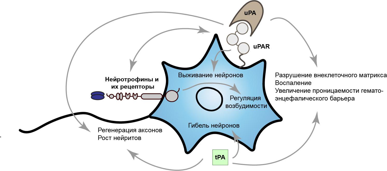 Новые механизмы регуляции выживаемости нейронов головного мозга при эпилепсии